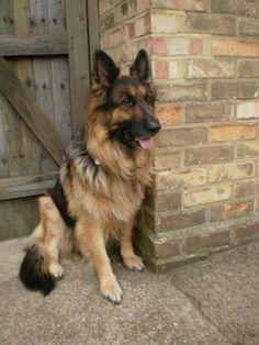 definitely getting a german shepherd as soon as we have a house.