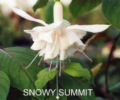 fuchsia snowy summit - Google Search
