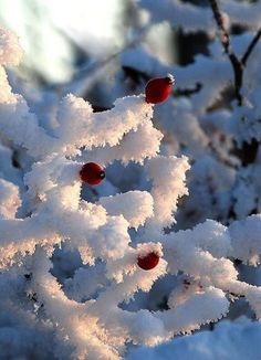 Awesome Winter Landscape Photos Rose hips remain colourful in winter and are often left standing I Love Snow, I Love Winter, Winter Snow, Winter Christmas, Merry Christmas, Winter Schnee, Foto Gif, Winter Magic, Snow Scenes