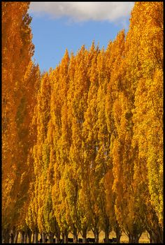 The colour of #Poplar #Leaves-1= by Sheba_Also, via Flickr