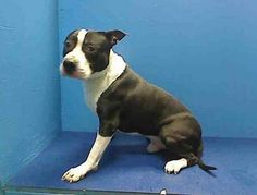 GONE RIP  4/11/13 Brooklyn Center -  DUTCH A0960759. A male black/white pit bull mixt 6 YRS old. Handsome Dutch is a perfect age, calm, playful, couch buddy just an all around good guy. He is available for public adoption on the ACC website. With a deposit and 48 hours to pick him up he can become your new buddy. Keep sharing him urgently for a foster or adopter. https://www.facebook.com/photo.php?fbid=591628107516739=a.275017085844511.78596.152876678058553=1