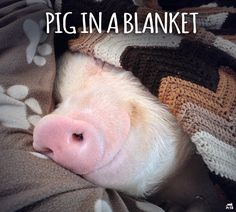 Pig in a Blanket ❤ So cute! Pet Pigs, Baby Pigs, This Little Piggy, Little Pigs, Baby Animals, Funny Animals, Cute Animals, Pot Belly Pigs, Teacup Pigs