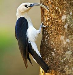Birds of the World: Sickle-Billed Vanga, endemic to Madagascar, found on western side of the island. Mostly in dry tropical forests & scrublands, dry savannas & to a lesser extent in tropical moist forests.