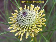 images of Australian flora and fauna Wedding Flowers, Wedding Day, Garden Inspiration, Beautiful Flowers, Flora, Australia, Plants, Pi Day Wedding, Pretty Flowers