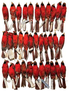 DNA barcoding could help the Smithsonian identify all the specimens it has, including 480,000 stuffed birds. Photograph by Timothy Devine.