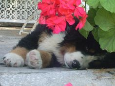 A friend's adorable baby Berner ...