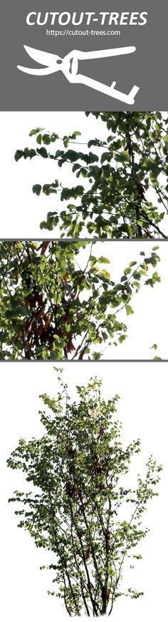 3578 x 5586 pixels, PNG image, Transparent background.   Cercis siliquastrum - Small  En: Judas tree; It: Albero di Giuda; Pt: Olaia; Fr: Arbre de Judée; Es: Árbol del Amor.  Small deciduous tree, up to 15 m high. Found in south Europe and southwest Asia. Easily identified by its pink flowers and fruits (brown pods).