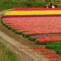 tulip fields of true colors