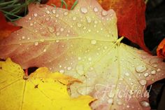 Autumn leaves  nature photography maple by finchfieldart on Etsy, $30.00