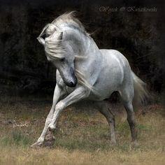 Gorrion G  (Quimico III - Delicada XIV)  Andalusian stallion  Elevage des Artigues  St. Vivien de Medoc, France by Wojtek Kwiatkowski