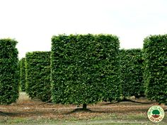 fagus sylvatica - Practicality Brown Ltd Topiaries, Hedges, Fence, Vineyard, Foundation, Trees, Gardens, Formal, Brown