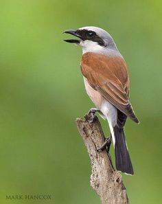 Escorxador ♂ - Alcaudón dorsirojo - Lanius collurio - Red-backed Shrike