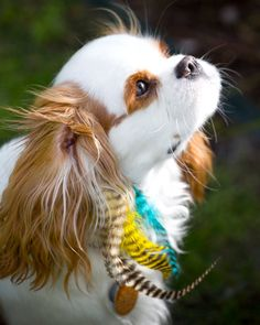 I put feathers in my Cavalier's ears all the time. She looks adorable.