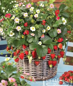 Rainbow Treasure Strawberry Plant in container Rainbow Treasure Strawberry Seeds, ornamental that bares fruit. Rainbow Treasure Strawberry - edible ornamental for hanging baskets and elsewhere. I had these before, very poor germination. Strawberry Seed, Strawberry Plants, Strawberry Fields, Strawberry Delight, Colorful Flowers, Beautiful Flowers, Flower Colors, Red Flowers, Fruit Flowers