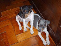 <3 Brazilian Terrier or FOX PAULISTINHA puppy