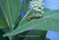 Milkweed is the lifeblood of monarch caterpillars, and without these precious butterfly plants, monarch butterflies would be no more.plant milkweed to help save monarchs for future generations! Flowers For Butterflies, Flying Flowers, Beautiful Butterflies, Butterfly Garden Plants, Garden Insects, Butterfly Feeder, Florida Gardening, Florida Landscaping, Dragon Garden