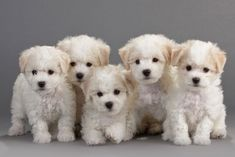 Bichon Frise dog breed information with pictures. Description of Bichon Frise. Interesting facts and breed history. Bichon Frise, Bichon Dog, Maltipoo Puppies, Toy Dog Breeds, Small Dog Breeds, Small Dogs, Poodle, Cute Puppies, Dogs And Puppies