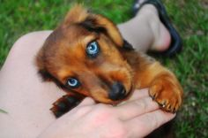 Long hair, double-dapple, blue-eyed Doxie pup!  Beautiful!   WOW!!!!