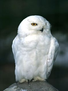 The snowy owl's beautiful white plumage helps to hide it in its Arctic habitat. Only the males are completely white. Chicks are dark and spotted, while the females are white with spots on their wings.
