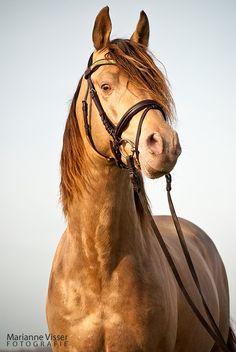 Amber Champagne horse (stallion)