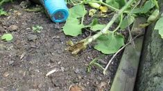 Identifying and Treating Vine Borers on Your Squash, Zucchini and Vine C...