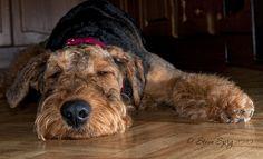 Airedale Terrier by Sprigo, via Flickr