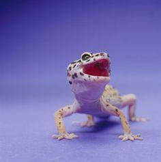 Leopard Geckos