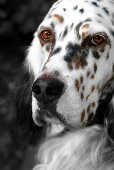 Pretty face! (English Setter)