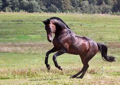 Русский рысак - фотографии - equestrian.ru - Orlov