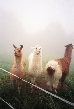 Llamas in the mist. If LLamas or Alpacas are kept on their own they literally die of loneliness. Cute Baby Animals, Farm Animals, Animals And Pets, Funny Animals, Wild Animals, Alpacas, Mundo Animal, My Animal, Beautiful Creatures