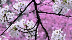 Nature cherry blossoms trees spring (season) wallpaper