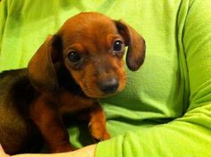 A Dachshund Puppy Stare That Can Melt Hearts