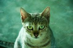 Cat Eyes Photos Powerful eyes are watching you by sathyan