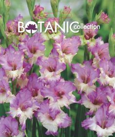 Gladiolus 'Andrews'