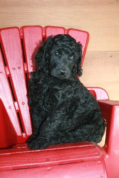 Since I can't brag on FB I will here - this is what our new sweet lil pup looks like :)  I pick him up this week.  Lolo's going to be surprised!!!!  Baby Velvet, blue Standard Poodle