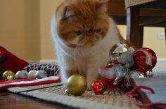 Garfield staring down the Christmas decoration.
