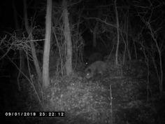 Éjszakai vaddisznók.
