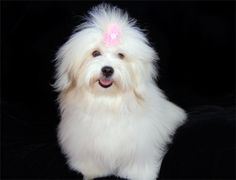 Coton De Tulear.. I met one and they are so cute and as soft as cotton..