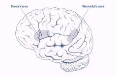 New Words by sci-news.com: Scientists find a strong relationship between the ability to remember words and the structure of arcuate fasciculus, a collection of nerve fibres connecting auditory regions at the temporal lobe with the motor area located at the frontal lobe in the left hemisphere of the brain. Differences in the development of these auditory-motor connections may explain differences in people's ability to learn words. #Neuroscience #Learning #Language