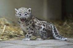 A snow leopard with a bit of sass. | The 40 Most Adorable Baby Animal Photographs Of 2013