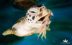 Sea Turtle by Christian Miller on Underwater Creatures, Ocean Creatures, Photos Sous-marines, Pictures, Cute Turtles, Sea Turtles, Tortoise Turtle, Turtle Love, Tier Fotos