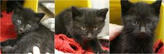 RESCUED AND ADOPTED> Intake: 11/15 Available: 11/21 NAME: Donner-Vixen-Dancer  ANIMAL ID: 33997234-7254-7244 BREED: DSH SEX: Male & Female  EST. AGE: 6 weeks  Est Weight: 1 lb 8ozs  Health:  Temperament: Friendly ADDITIONAL INFO:  RESCUE PULL FEE: $35(each)