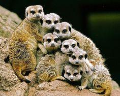 Meerkat family!