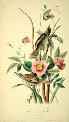 n173_w1150 by BioDivLibrary on Flickr. The birds of America :. New York :J.B. Chevalier,1840-1844.. biodiversitylibrary.org/page/40383908