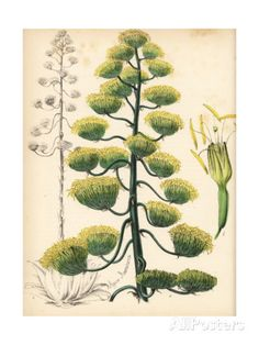 American Aloe or Century Plant, Agave Americana Giclee Print by M.A. Burnett at AllPosters.com