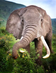 "memoriesofelephants: "" memoriesofelephants: ""A bull (male) elephant in the Ngorongoro Highlands of Tanzania who'd somehow lost part of his trunk in his lifetime - possibly a victim to hyenas, or a..."