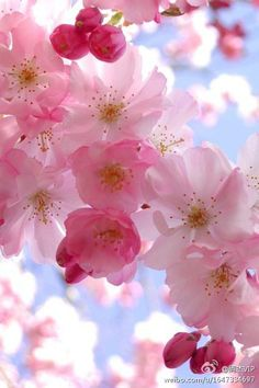 Cherry Blossoms - One of my favorite flowers EVER