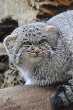 Pallas Cat (Otocolobus manul) found in the Mountainous Regions of Iran, China and Russia