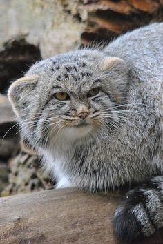 Es un gato de pallas(felino)