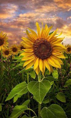 Flower Phone Wallpaper, Nature Wallpaper, Hd Wallpaper, Ios Wallpapers, Sunflower Photography, Nature Photography, Happy Flowers, Beautiful Flowers, Sunflowers And Daisies